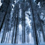 Winter forest with snow on evergreen trees